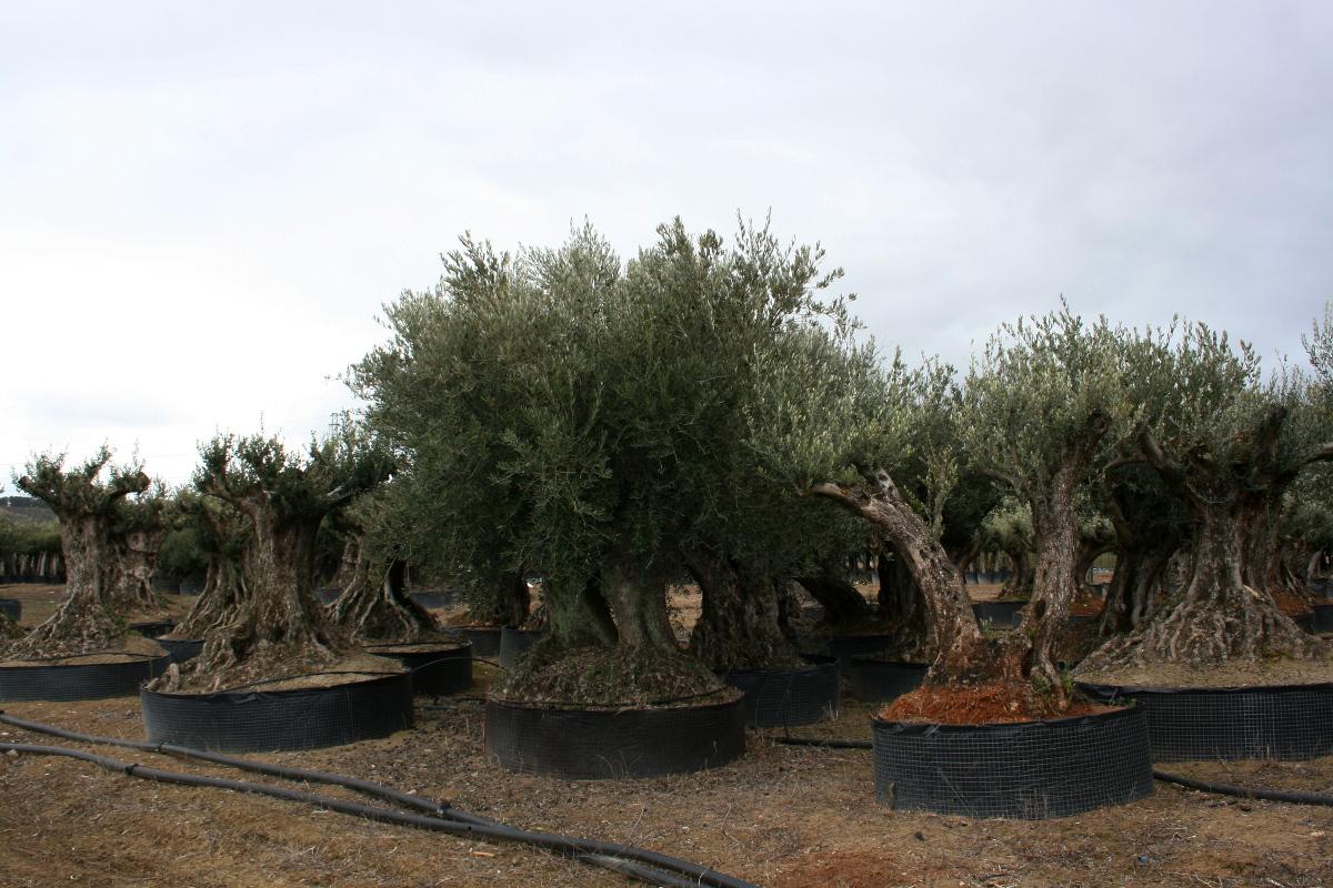 Olivos centenarios - Compra de olivos centenarios ...